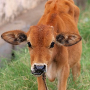 brown-baby-cow
