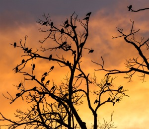 Silhouetted_birds_in_a_tree_(7515037378)