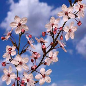 prunus-branches-